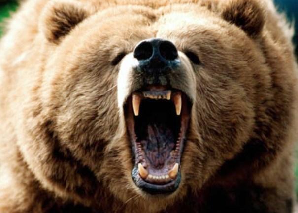 medvjed-100